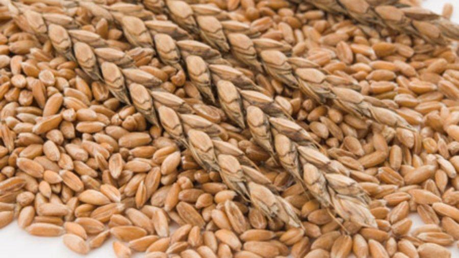 Dinkel, die bessere Alternative zu Weizen
